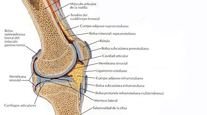 anatomía de la rodilla
